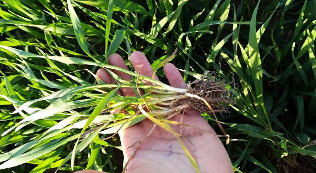 Konferencja Farmera: Susza w fazie zbóż BBCH31