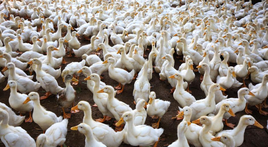 Wielkopolskie: kolejne ognisko ptasiej grypy w regionie