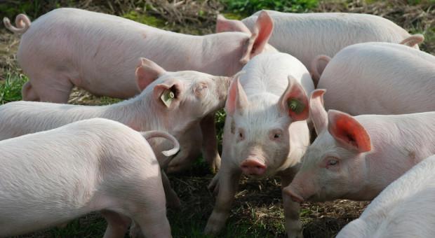 Amerykańscy rolnicy utrzymują więcej świń niż kiedykolwiek wcześniej