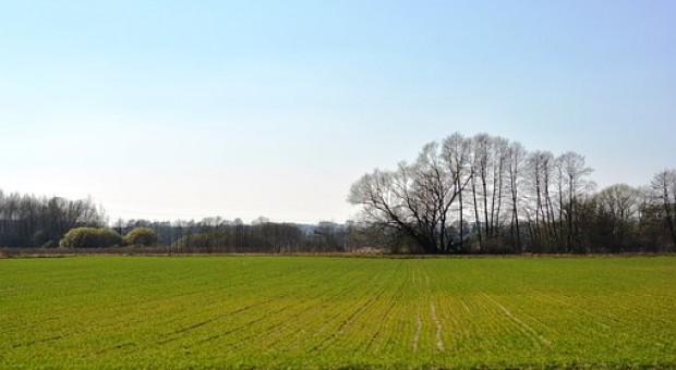 Ukraina: Powierzchnia uprawy pszenicy ozimej po zbiory w 2020 r. nieco niższa niż w 2019 r.