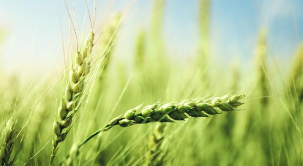 FAO: Światowa produkcja zbóż w 2019 r. osiągnęła rekordowy poziom