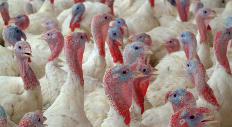 Węgry: ponad 53 tys. indyków zostanie wybitych z powodu grypy ptaków