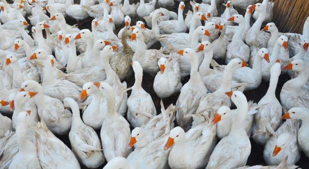 Wielkopolskie: kolejny przypadek grypy ptaków w regionie