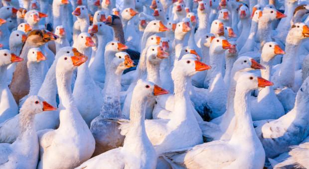 Trwa likwidacja stada gęsi zarażonych grypą ptaków