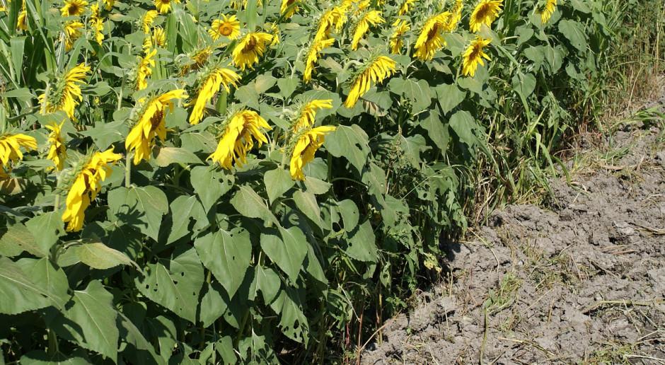 Rosja: Nowe rekordy produkcji nasion roślin oleistych