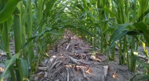 USA: 10 proc. mniejsze porażenie kukurydzy w uprawie regeneracyjnej