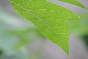 Naukowcy mogą zwiększyć wydajność fotosyntezy