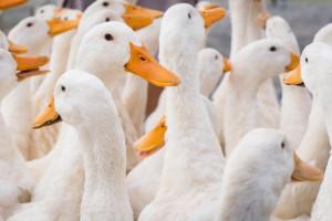 Podejrzenie grypy ptaków w pow. ostrowskim