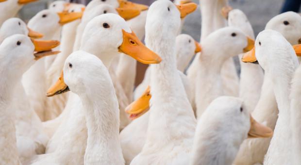 Na Węgrzech ponownie pojawiła się ptasia grypa