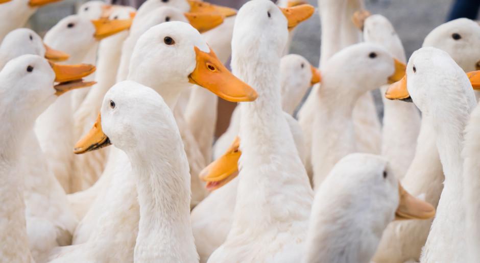Pierwszy przypadek ptasiej grypy w woj. łódzkim