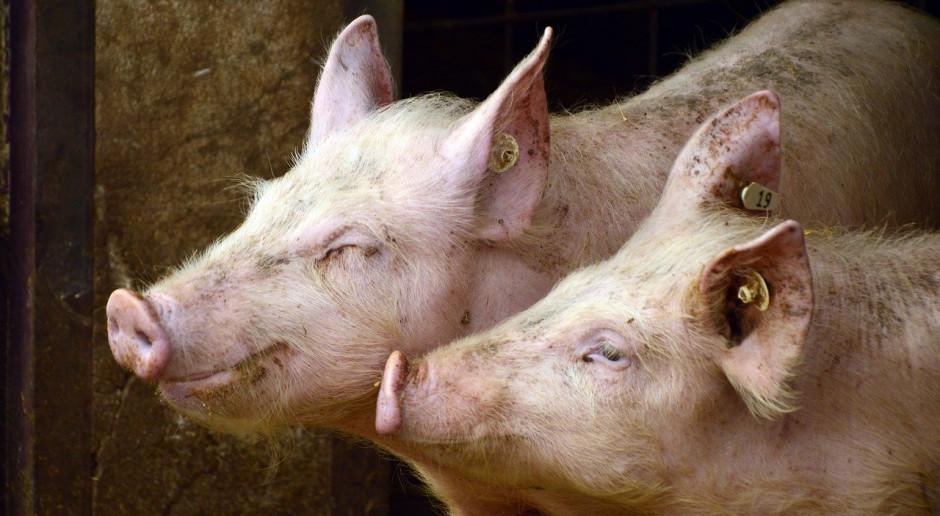 Klasyczny pomór świń - nowe ogniska