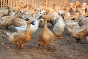 Węgry: Wykryto kolejne ognisko ptasiej grypy
