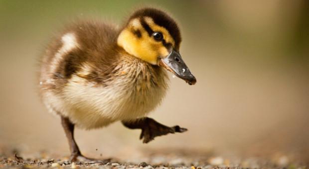 21 tys. kaczek do likwidacji, to znowu grypa ptaków