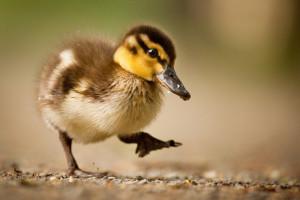 Wielkopolskie: czwarte ognisko grypy ptaków w Wielkopolsce