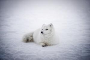 Protest hodowców przeciwko wywozowi lisów polarnych do Chin