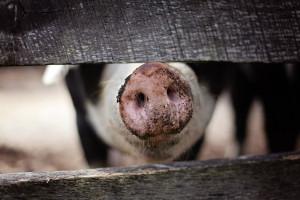 Są środki finansowe na walkę z ASF dla rolników