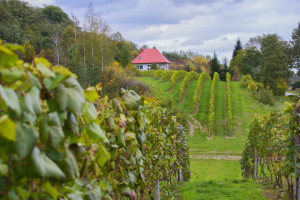Majowe przymrozki ograniczą tegoroczne zbiory w podkarpackich winnicach