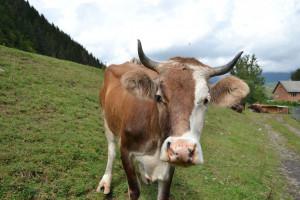 Ukraina: Spadki pogłowia bydła i świń na początku 2020 r.