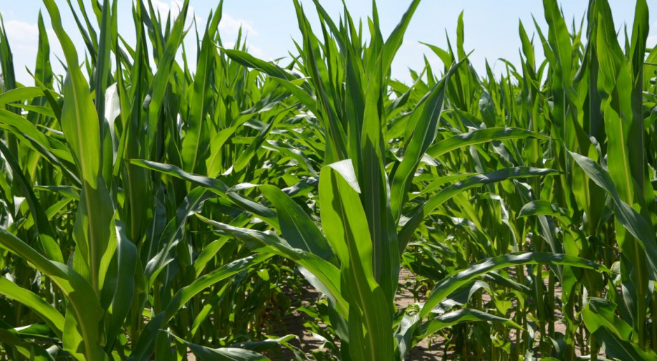 Pełen asortyment kreacji odmianowych kukurydzy na rynku