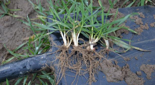 Konferencje Farmera: Nawożenie w miesiącach zimowych, czy stosować fosfor?