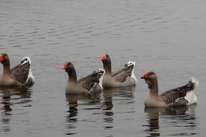 Grypa ptaków w Wildvogel w Brandenburgii