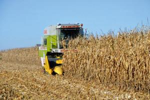Kukurydza na kiszonkę - firmowe propozycje na 2020 r.