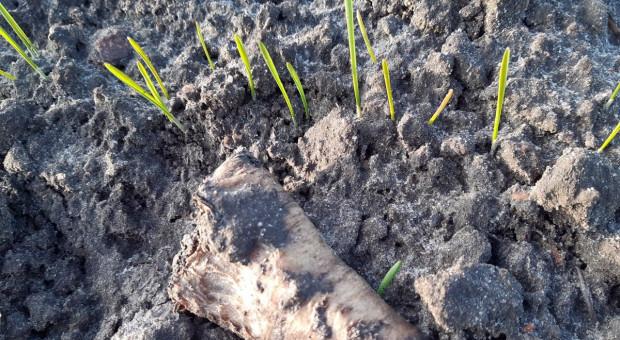 Wschodzi pszenica ozima siana w grudniu