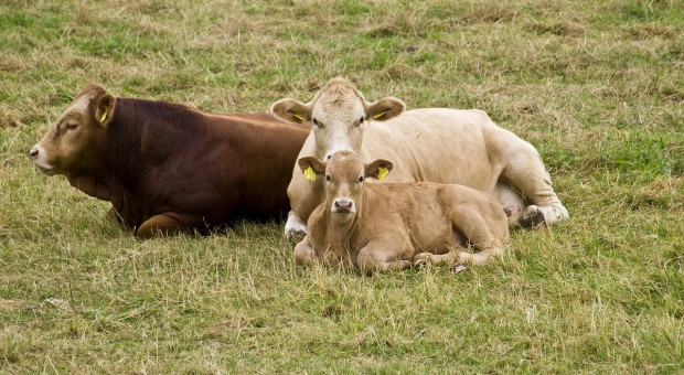 MRiRW: Sytuacja w sektorze wołowiny ulega stabilizacji