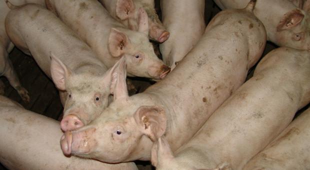 Niemcy: Fermy świń stają się coraz większe