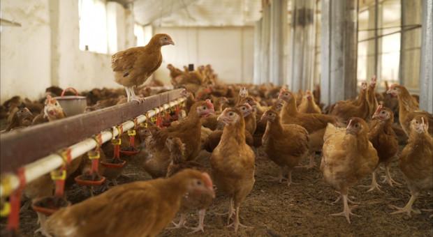 Piąte ognisko ptasiej grypy w gospodarstwie w Radłowie