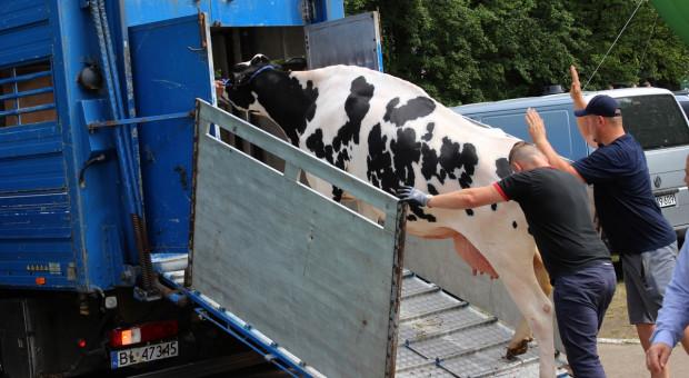 Dodatkowe kontrole w ubojni za łamanie dobrostanu przy rozładunku bydła