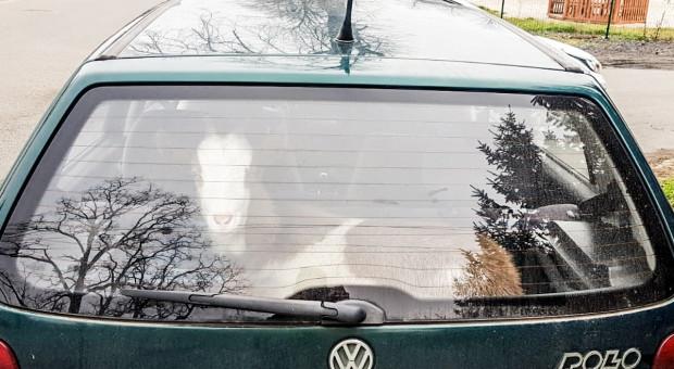 Kierowca pijany, a w bagażniku koza
