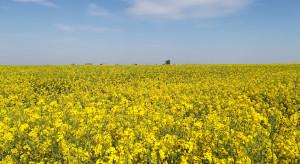Przez Innowacyjność do Sukcesu Online: Jak na wiosnę poprowadzić łan rzepaku?