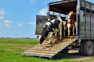Pojawia się coraz więcej przypadków oszustw na wadze skupowanego bydła