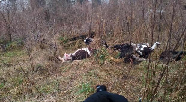 Hodowca padłe bydło wywoził do lasu, a żywego nie rejestrował