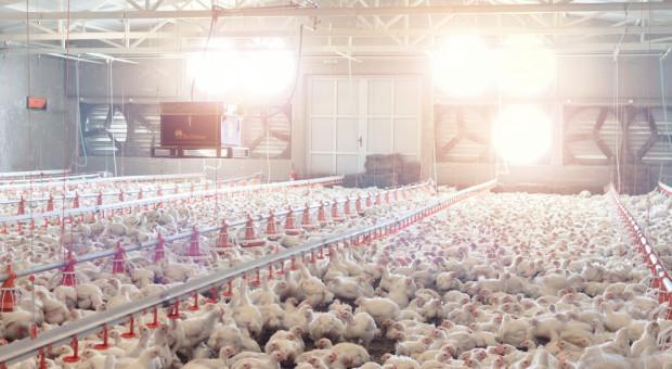 Ptasia grypa pogrąża fermy