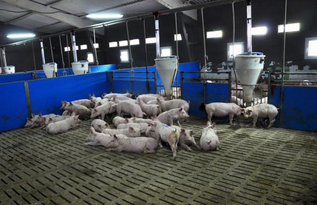 Komputerowy żywiciel. Cyfrowe rolnictwo w żywieniu świń