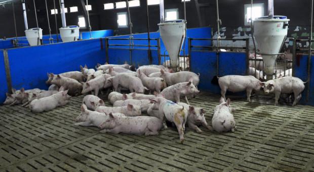 Cyfrowe rolnictwo w żywieniu świń