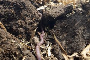 Jakie dżdżownice znajdują się w glebie?