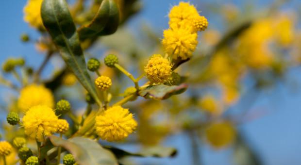Anomalie pogodowe we Włoszech: kwitną mimozy i migdałowce
