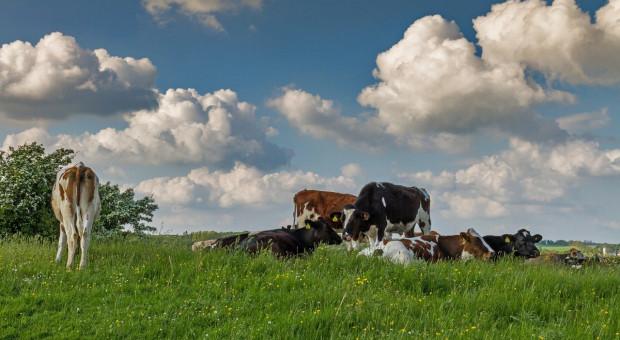 Dania: Niskie ceny, spada pogłowie bydła