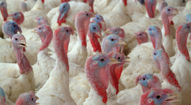 Kujawsko-pomorskie: kolejne ognisko ptasiej grypy w hodowli indyków