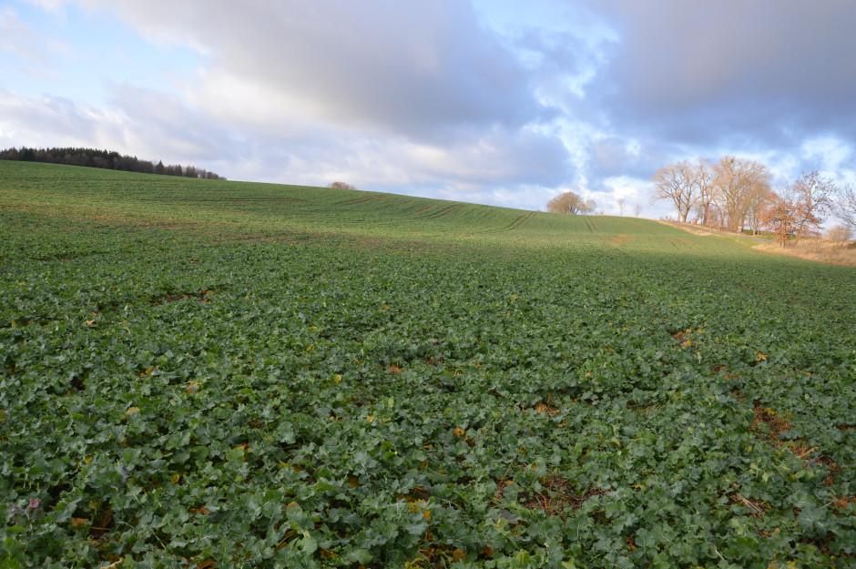 Tak wygląda pole rzepaku zasianego w technologii bezorkowej, jesienią został wykonany jeden zabieg skracania oraz zabieg herbicydowy.
