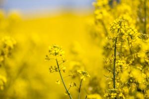 Jak uniezależnić się od importu białka sojowego?