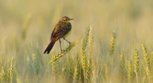 Spadek liczby gatunków ptaków  na polach