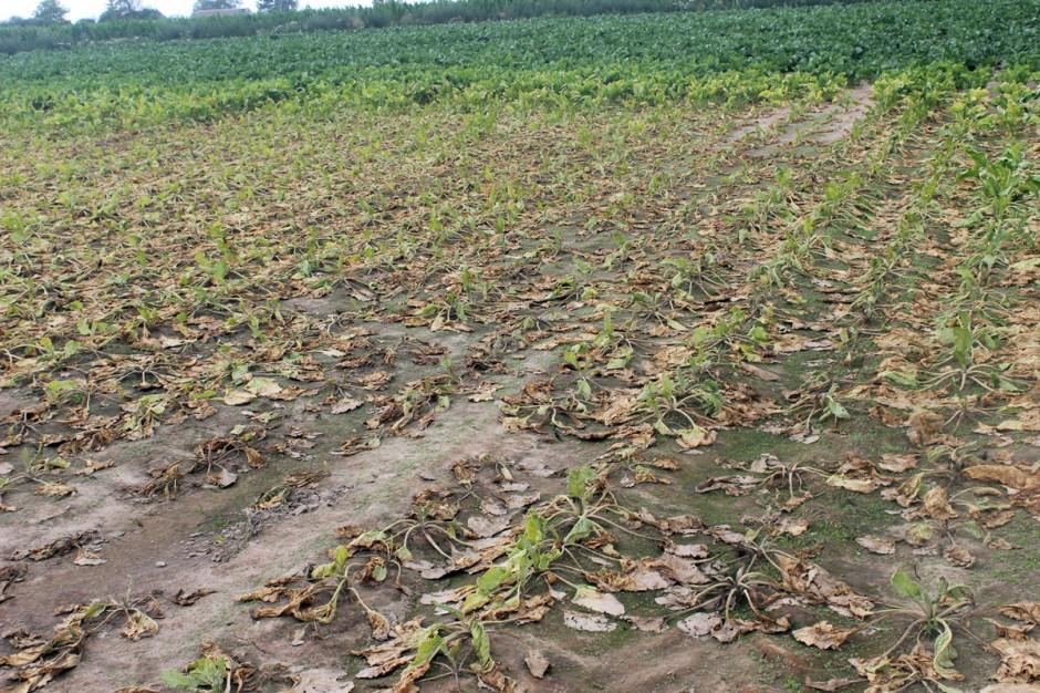 Zniszczony fragment plantacji buraka cukrowego Fot. A. Kobus