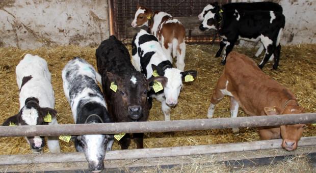 Przyczyny chorób płuc u bydła