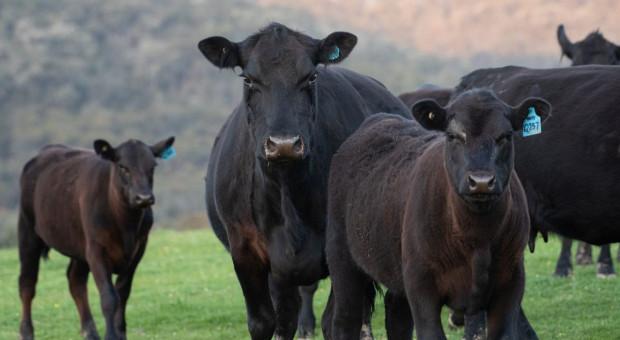 46 sztuk bydła zatrute ołowiem – akumulator w kiszonce