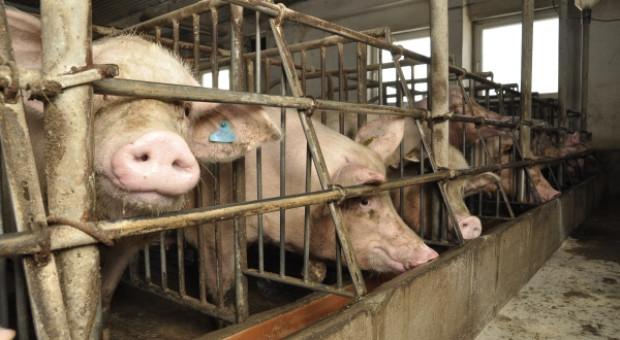 Czy krajowi hodowcy świń są gotowi na nowy sezon ognisk ASF?