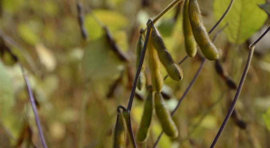 Soja ma szansę na rozwój uprawy tak jak kukurydza?